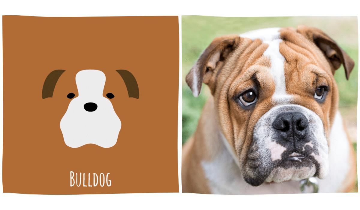 dessin minimaliste d'un Bulldog anglais à côté d'une photo de Bulldog anglais