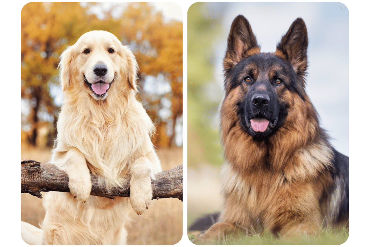 golden retriever et berger allemand