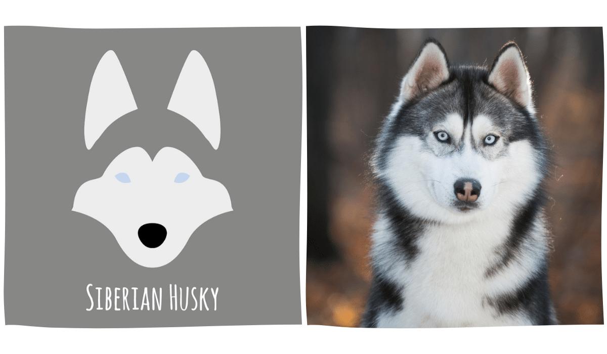 dessin minimaliste d'un Husky à côté d'une photo de Husky