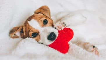 Petit chien dans une couverture tenant dans sa gueule un joli coeur rouge