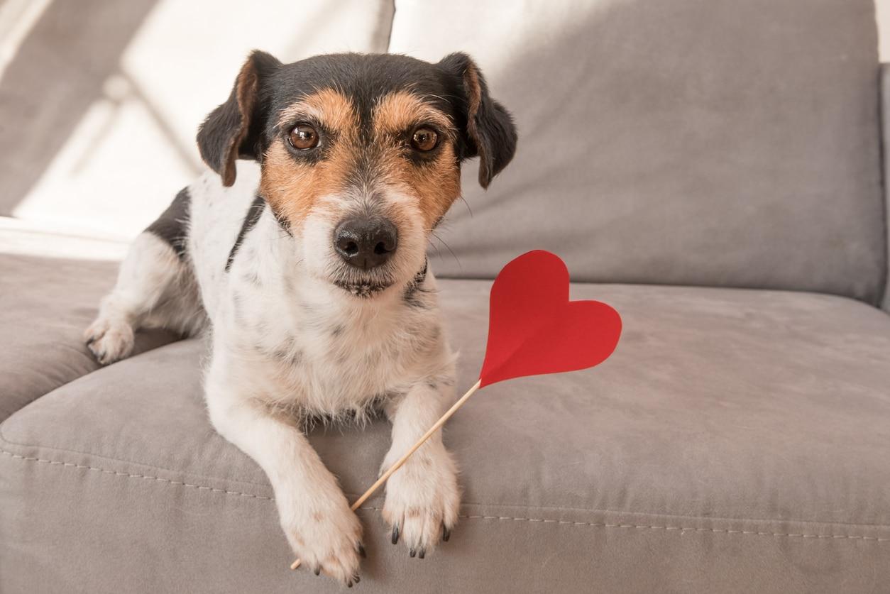 Petit chien allongé sur le canapé tenant entre ses pattes un batônnet avec un coeur rouge au bout