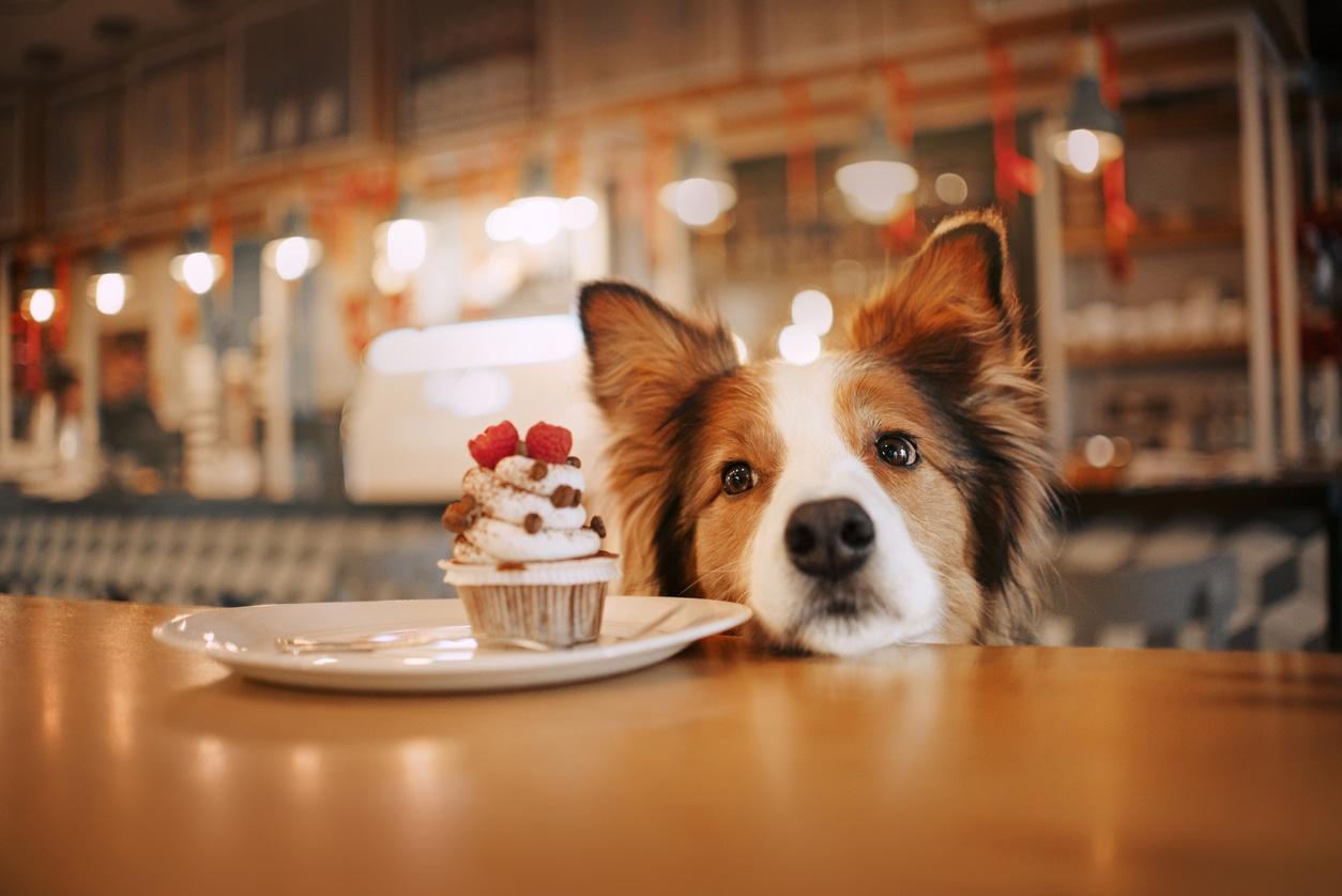 Chien qui réclame le gâteau sur la table
