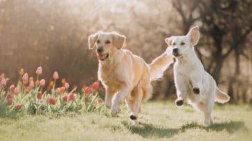 Chiens qui courent et jouent ensemble