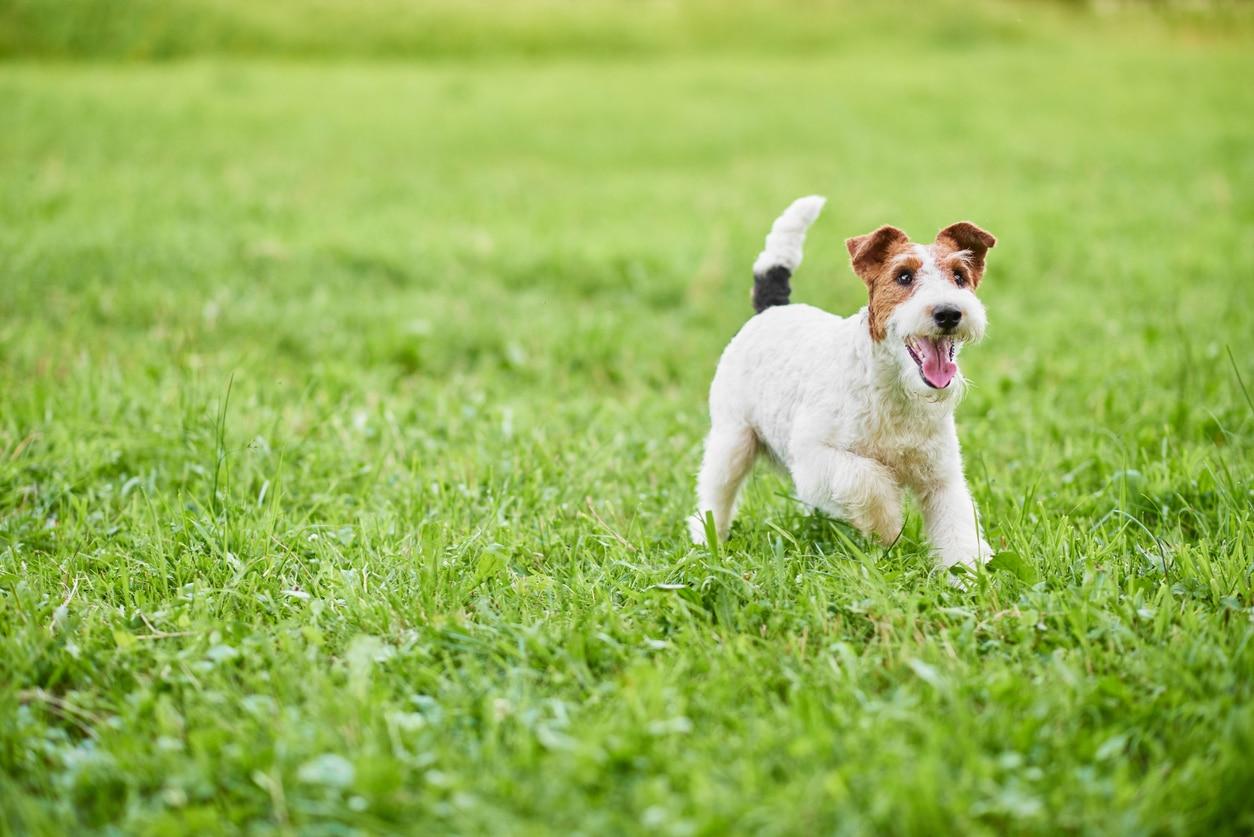 Fox Terrier qui court dans le champs