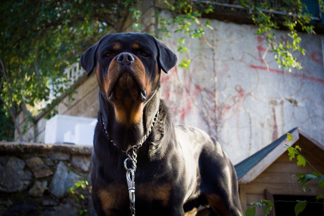 Chien Rottweiler attaché
