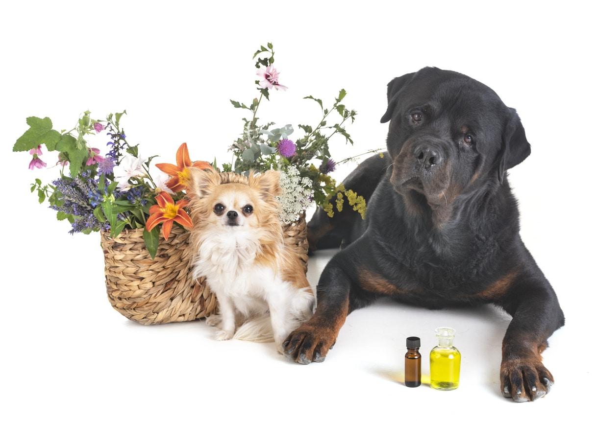 Deux chiens assis et couché auprès d'un panier de fleurs avec devant eux des flacons d'huiles essentielles