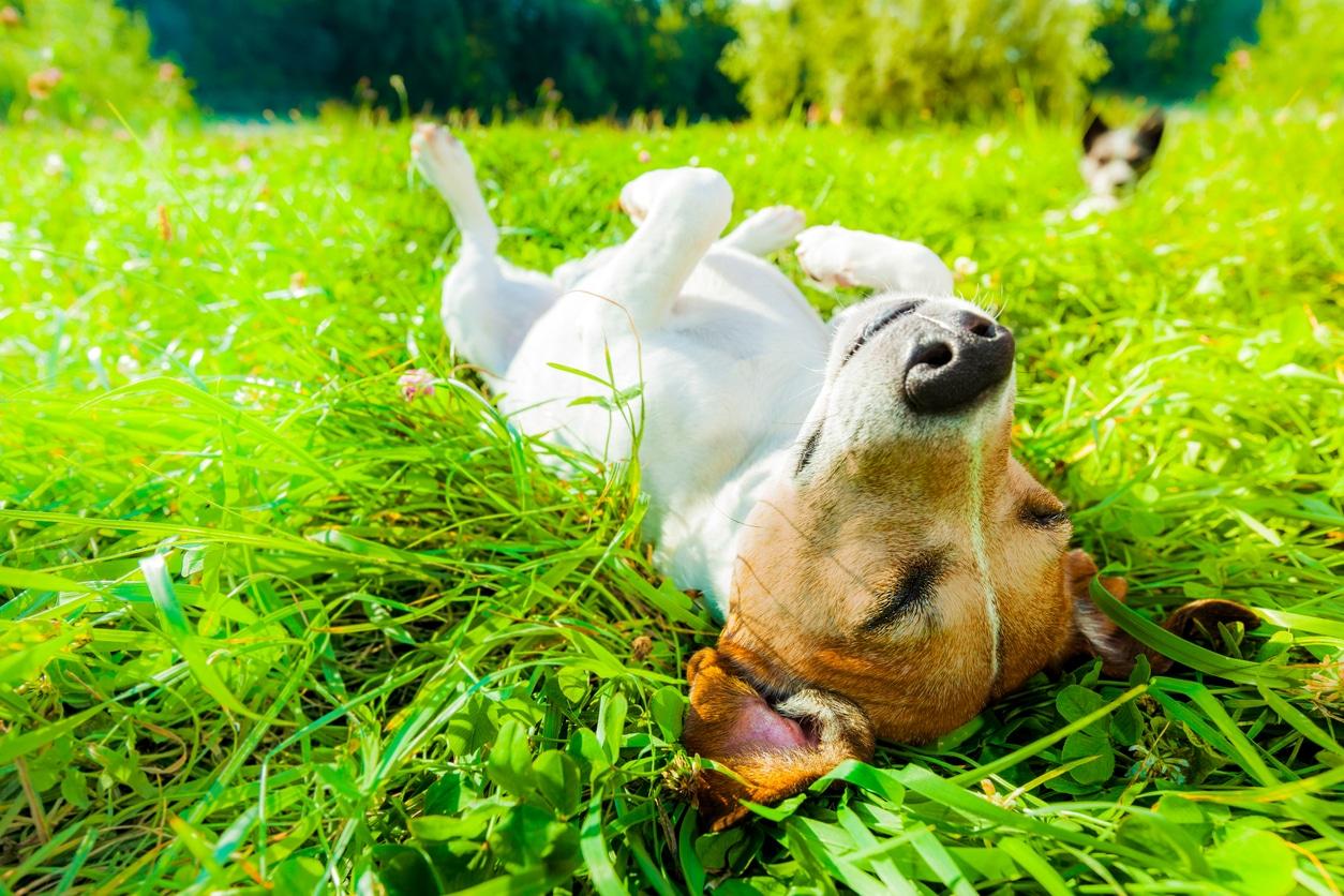 Chien content couché dans l'herbe