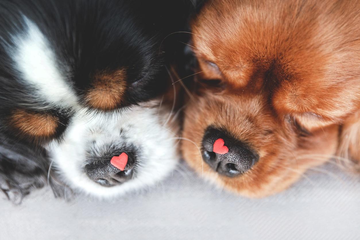 Deux petits chiens museaux contre museaux avec un petit coeur rouge sur la truffe