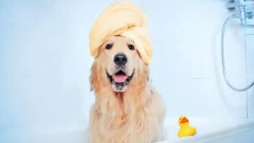 Chien à la douche avec une serviette sur la tête