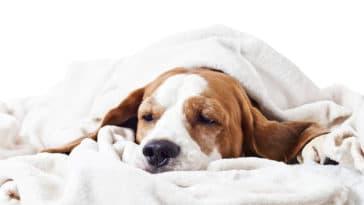 Chien malade qui est couché sous un plaid