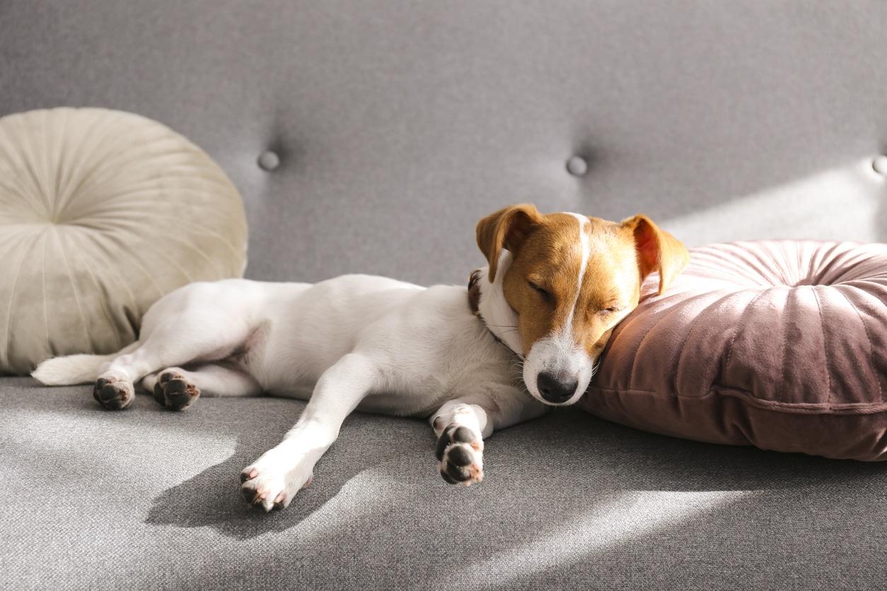Chien qui dort sur le canapé