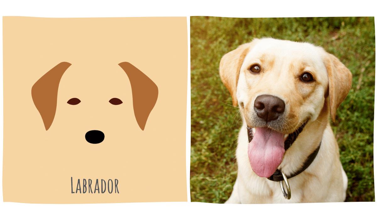 dessin minimaliste d'un labrador à côté d'une photo de labrador