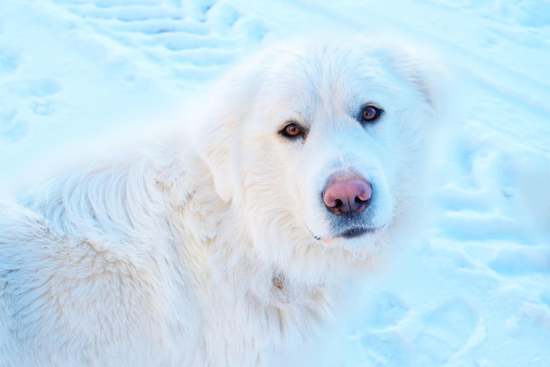 chien blanc avec la truffe des neiges rose