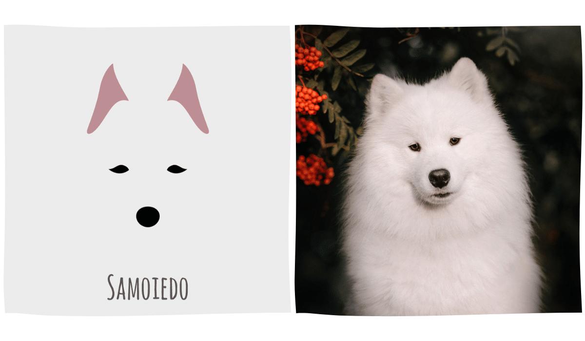 dessin minimaliste d'un samoyède à côté d'une photo de samoyède