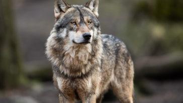 portrait d'un loup