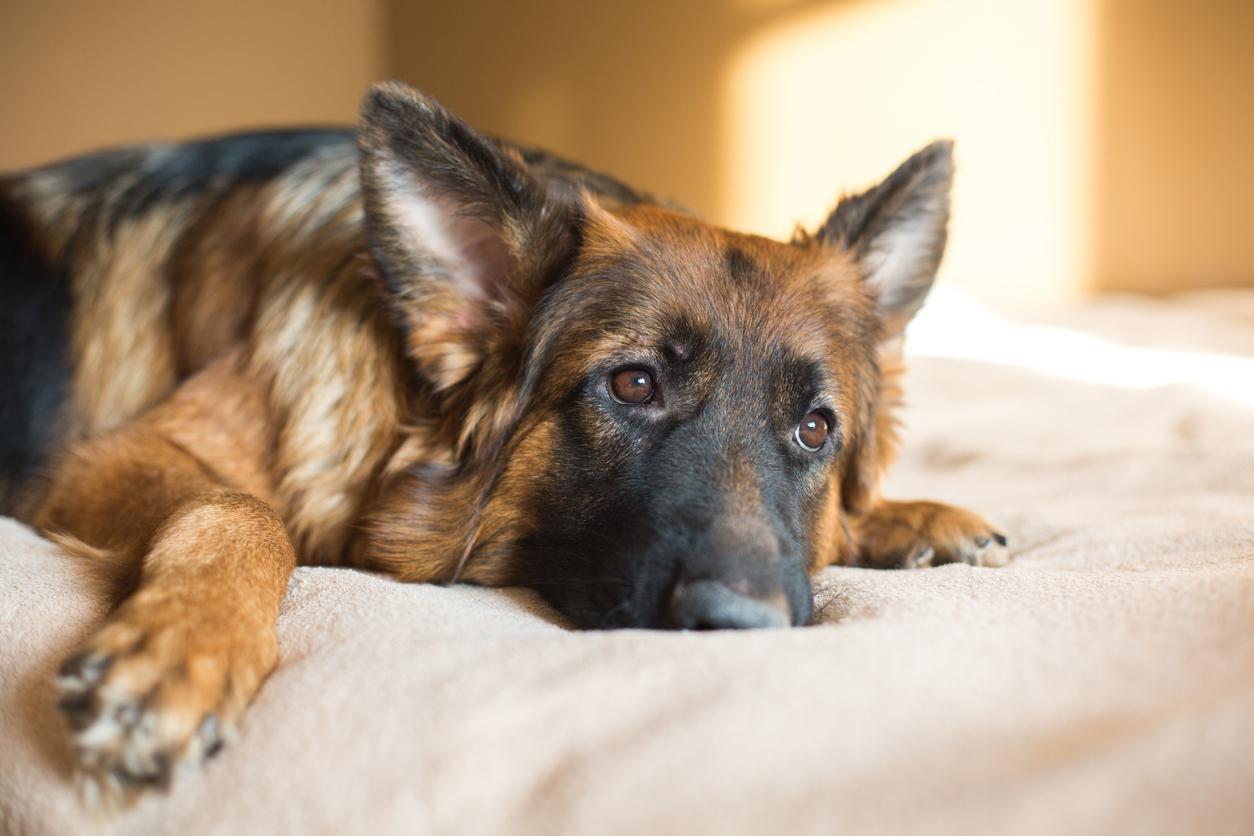 chien berger allemand qui semble déprimé