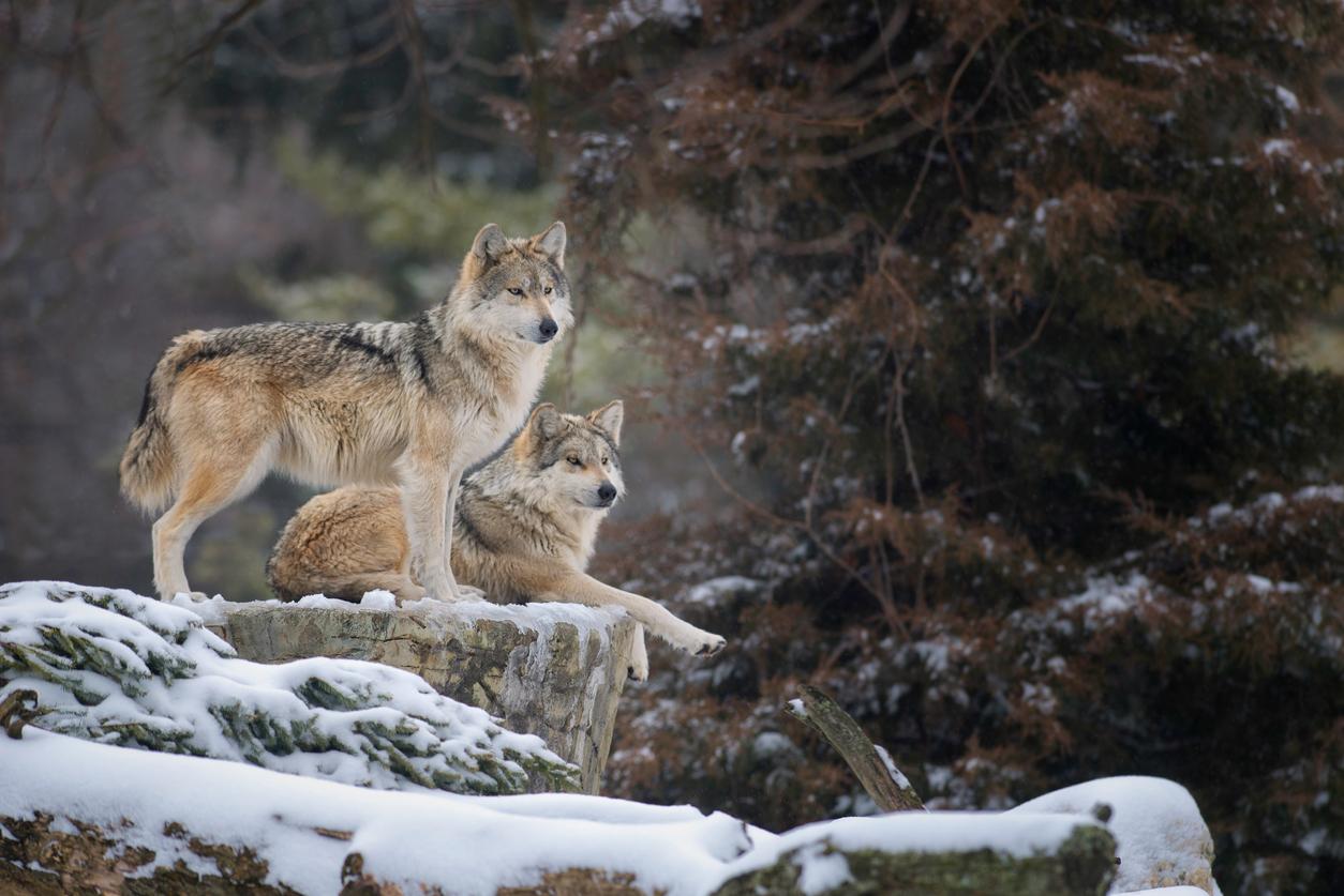 loups sur un rocher