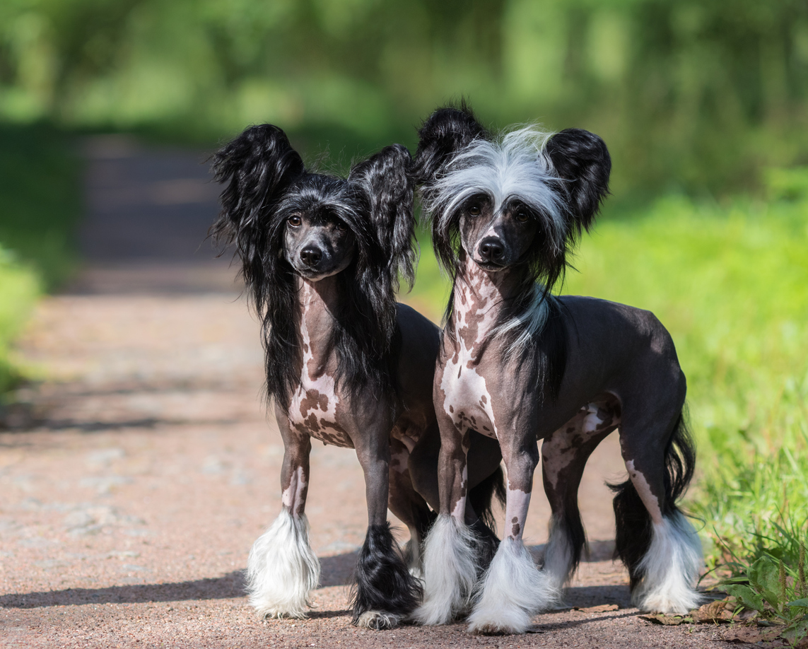 Deux chiens chinois dehors