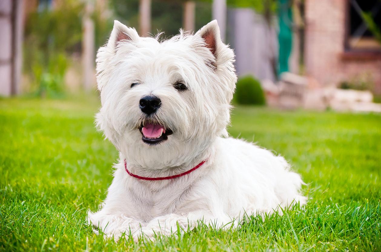 Chien West Highland Terrier