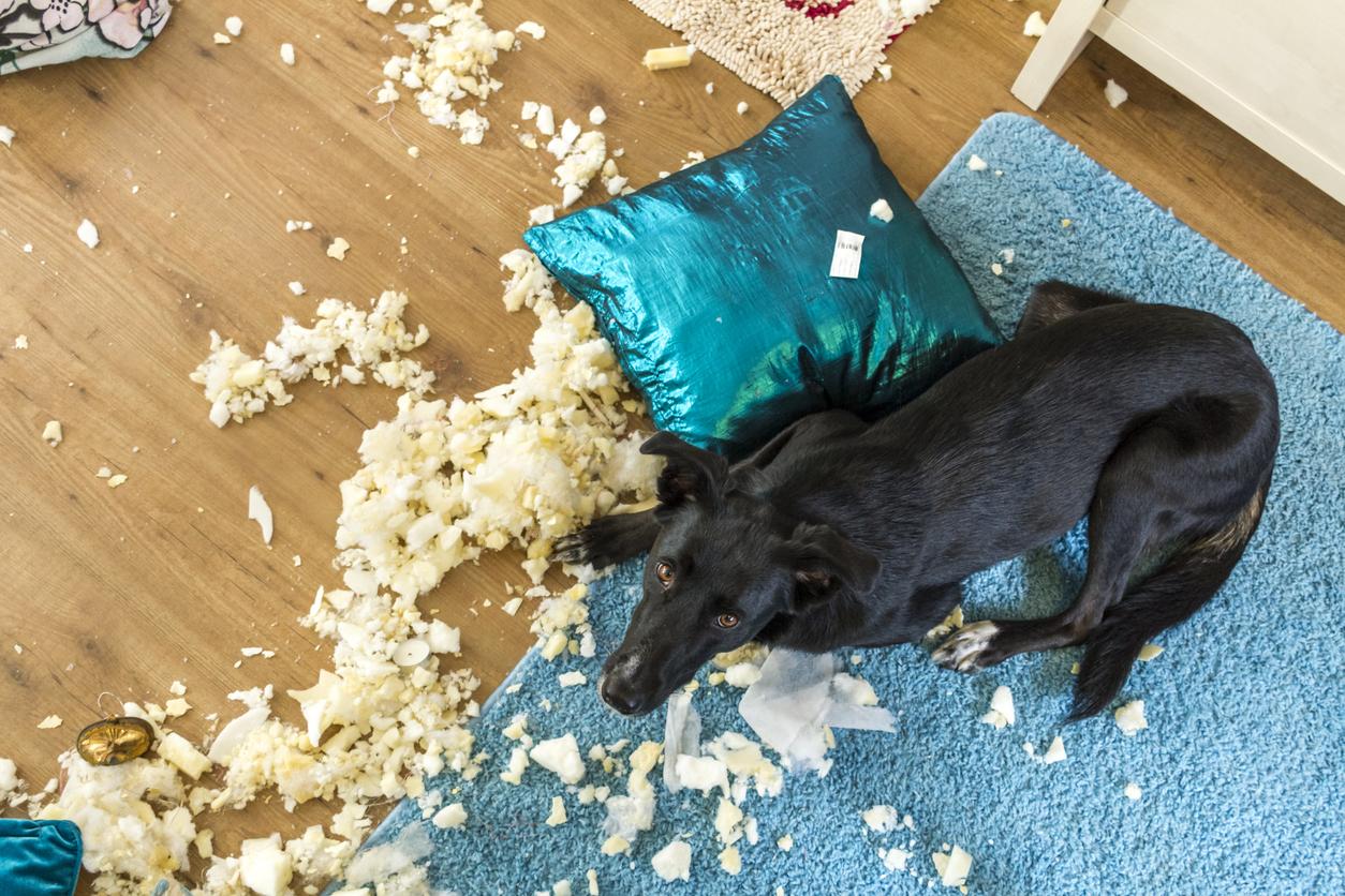 chien qui à détruit des coussins chez lui
