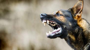 Portrait d'un chien agressif