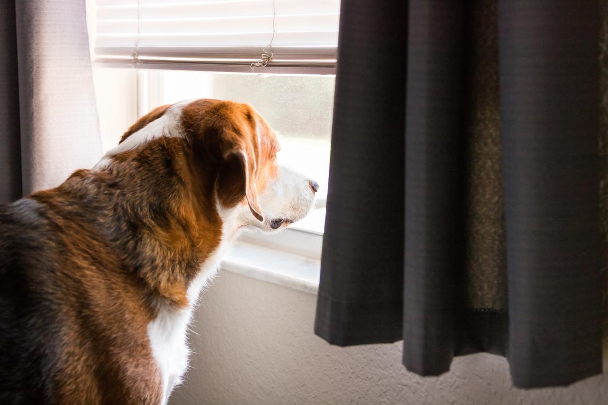Chien regardant à la fenêtre