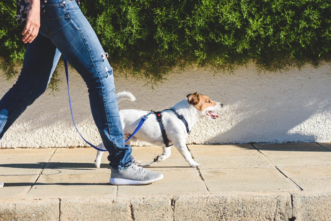 Chien en promenade avec un harnais