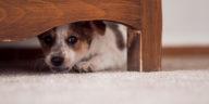 Petit chien peureux sous le lit