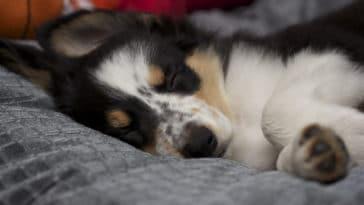 Petit chiot en train de dormir dans son matelas