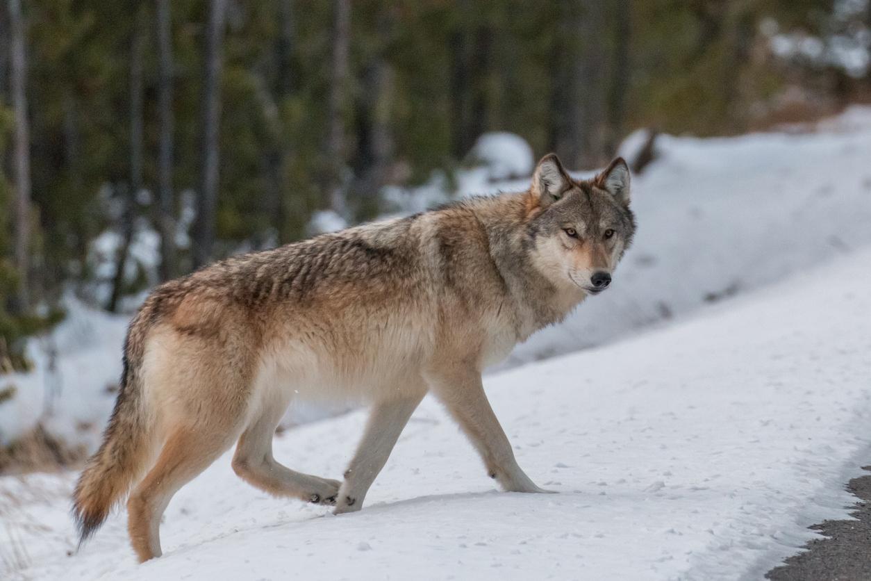 loup qui marche dans la neige