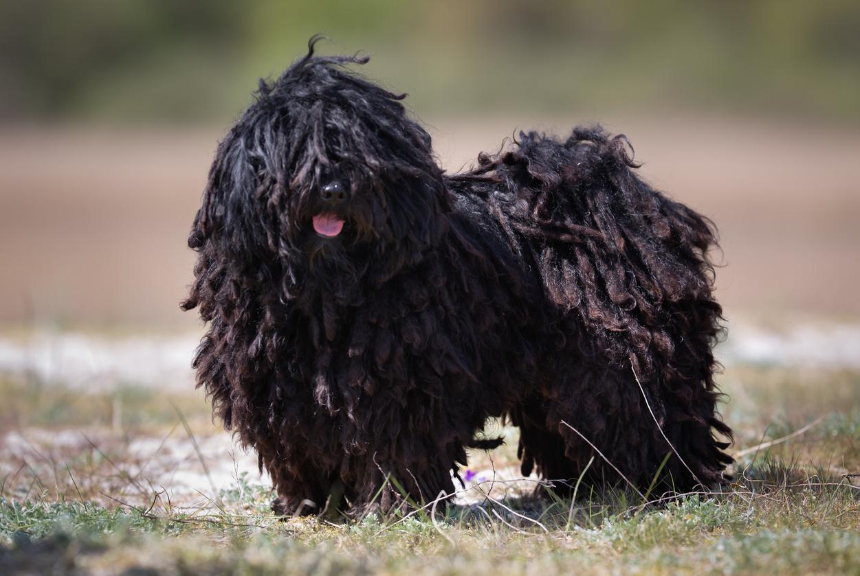 chien de race puli