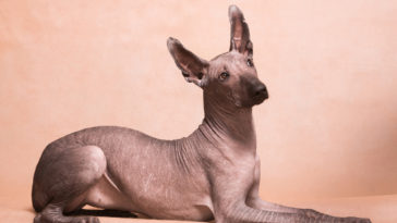 chien de race Xoloitzcuintli