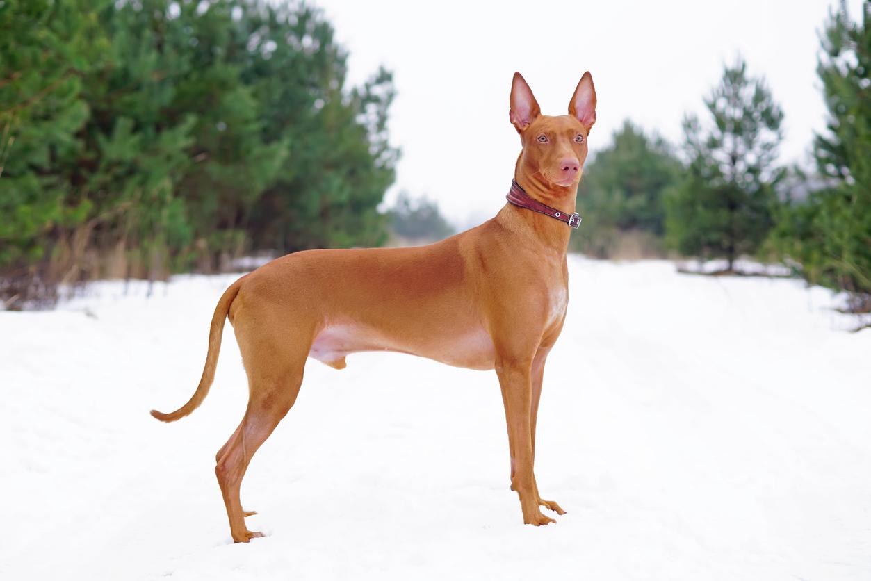 chien du pharaon dans la neige