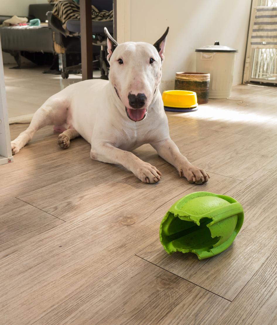 chien Bull terrier qui a mangé le plastique de l'un de ses jouets