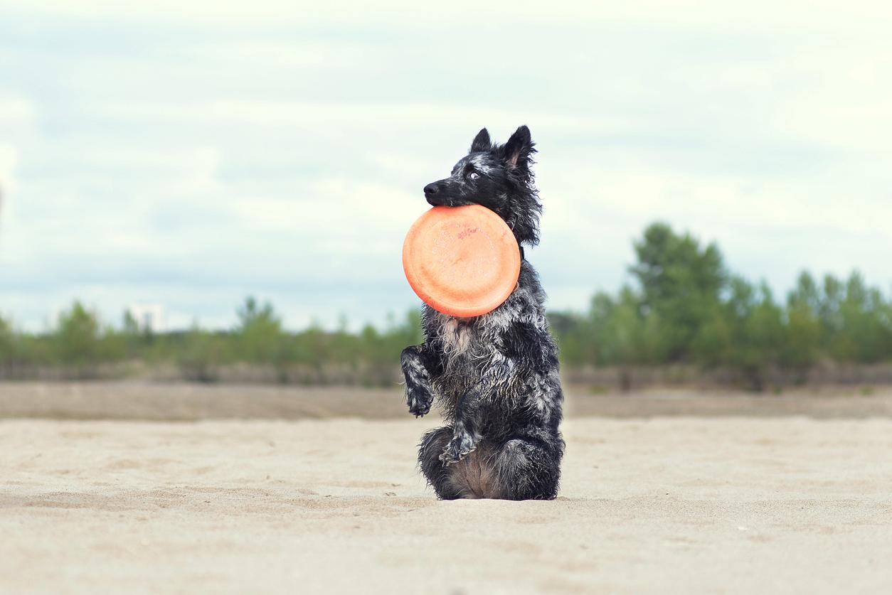 chien de race mudi