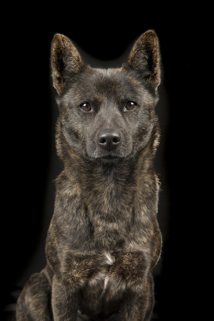 portrait d'un chien de race kai ken