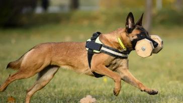 chien malinois avec un harnais