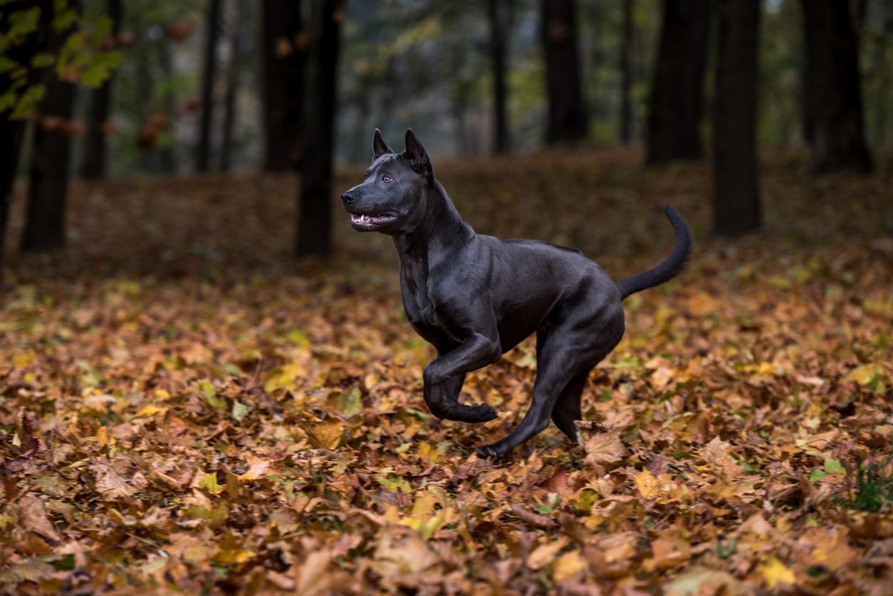 chien de race Thai ridgeback