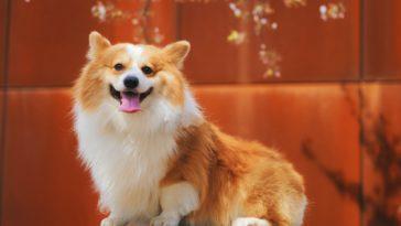 chien corgi sur fond orange