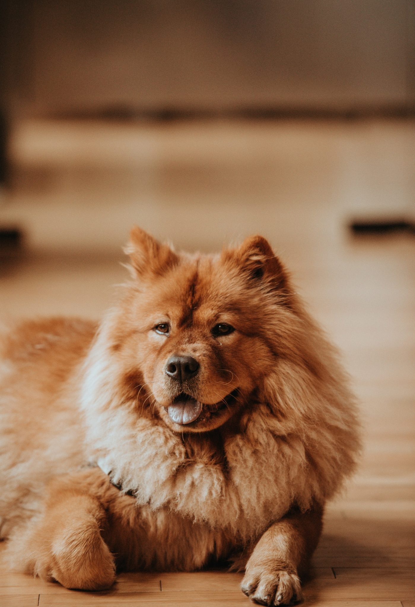 chien chow chow couché