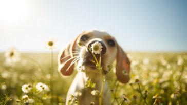 Chien flairant une fleur dans un champs