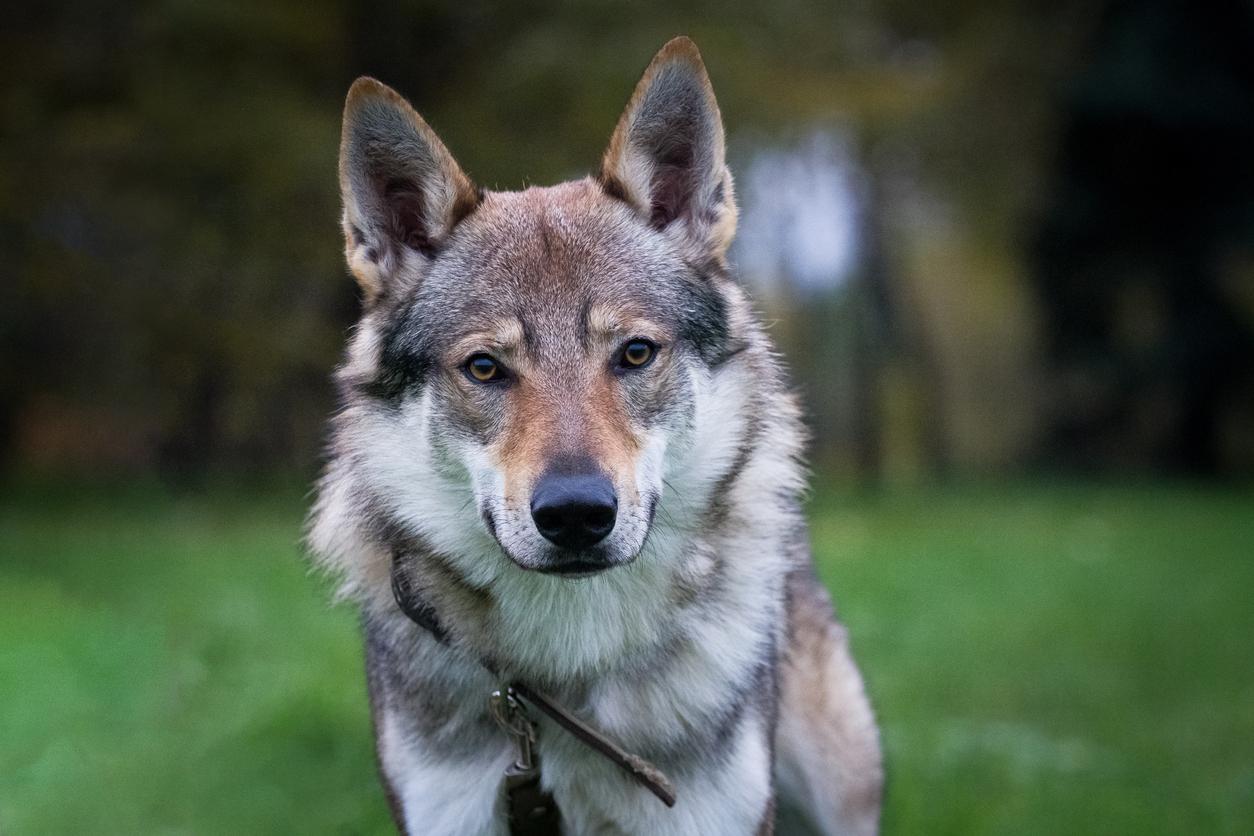 Portrait chien Tchécoslovaque