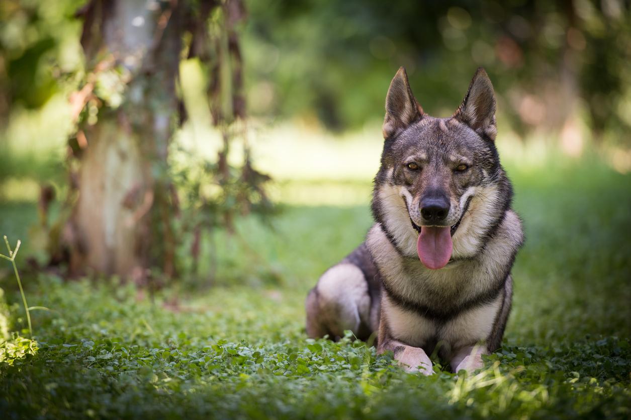 Wolfdog couché dans l'herbe