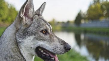 Portrait chien loup