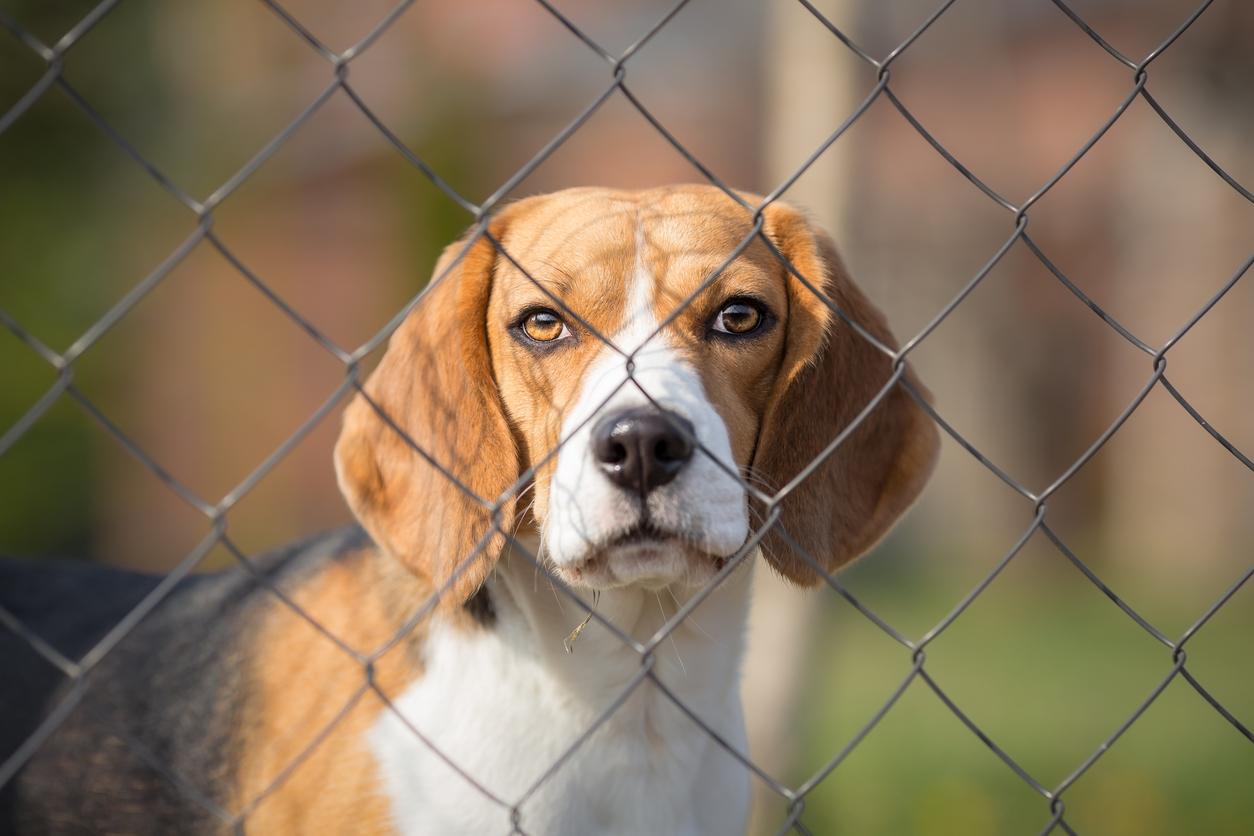 Beagle derrière un grillage