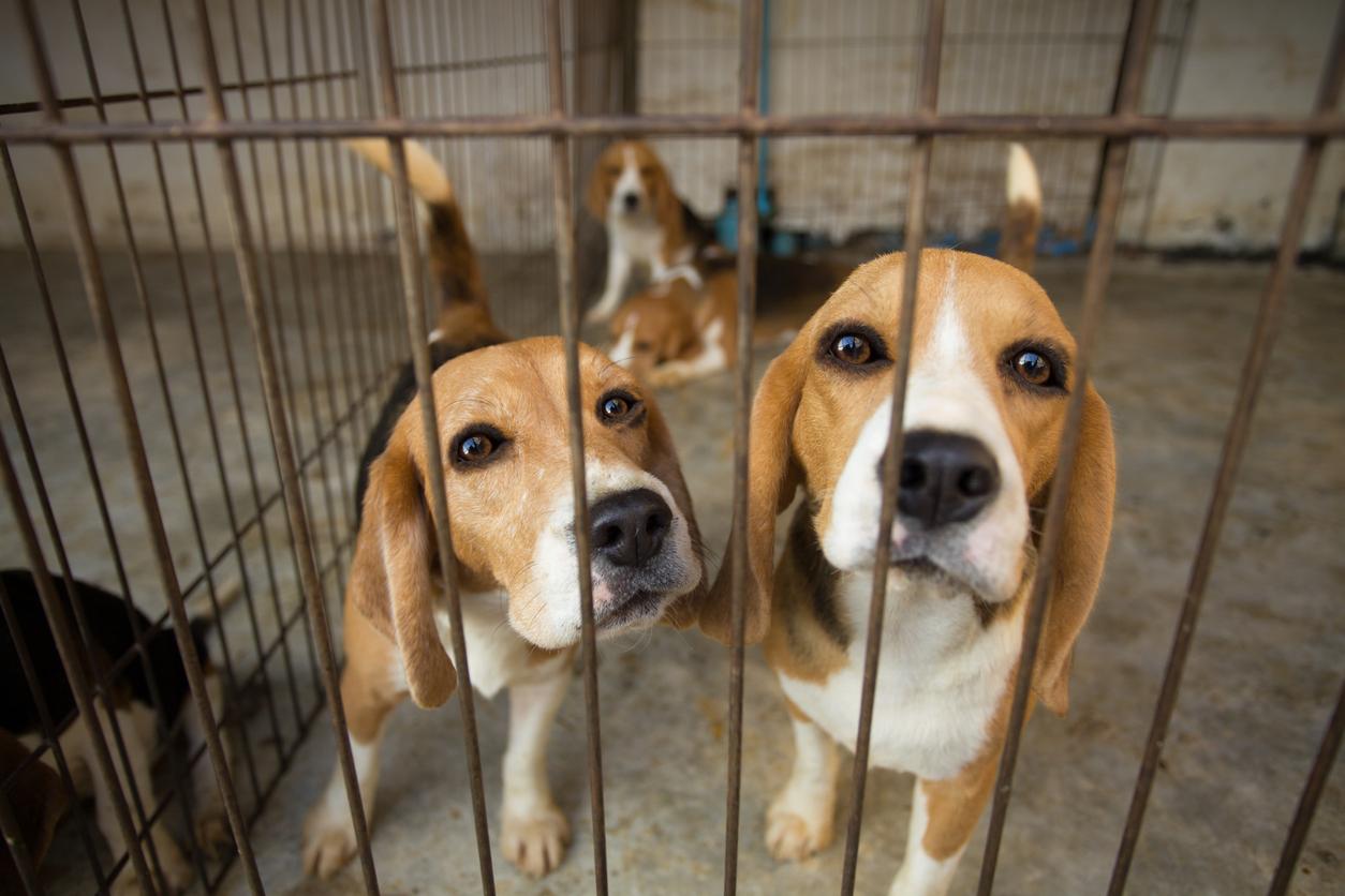 Beagles en cage