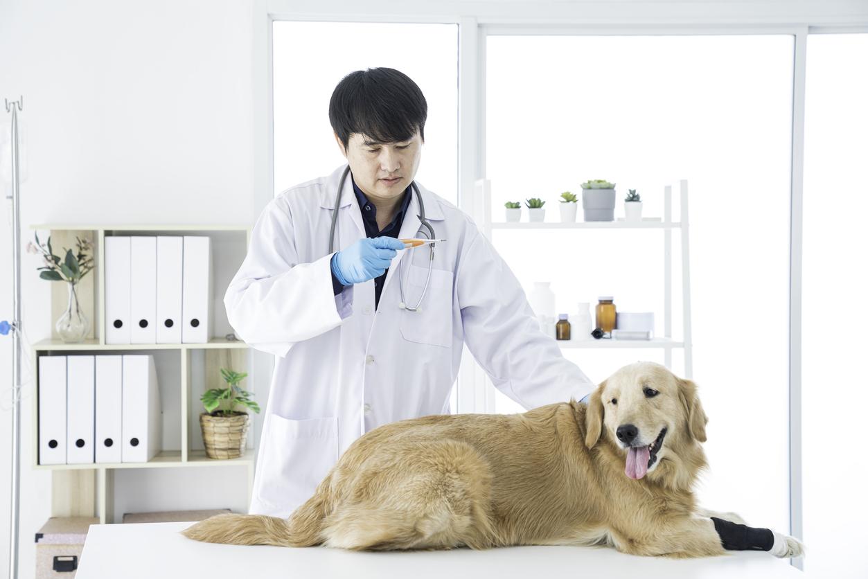 Chien allongé se faisant osculter chez le vétérinaire