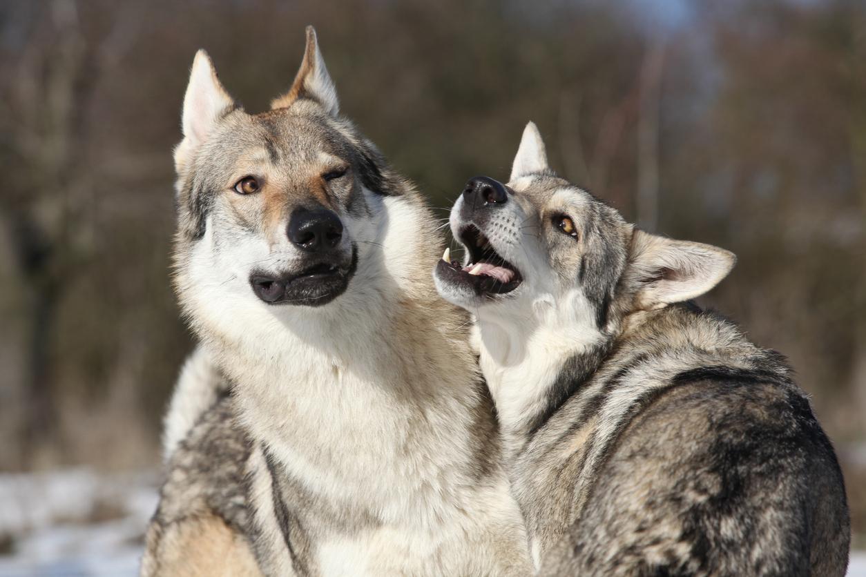 Deux chiens de Sarloos en train de jouer