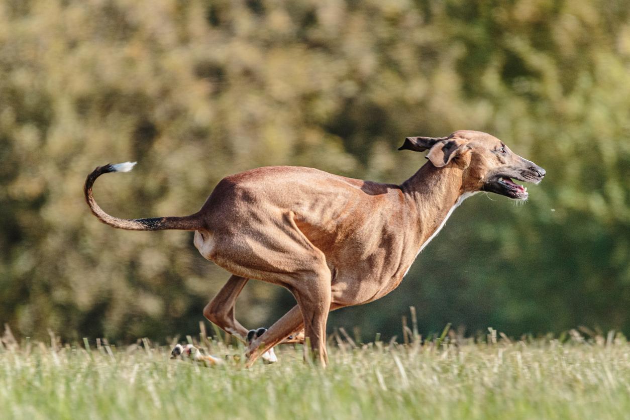Azawakh en train de courir dans l'herbe