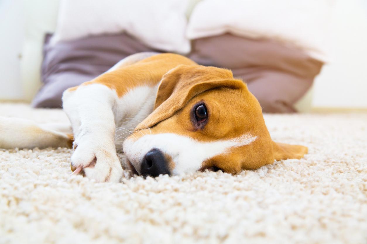 Chien Beagle allongé sur le tapis